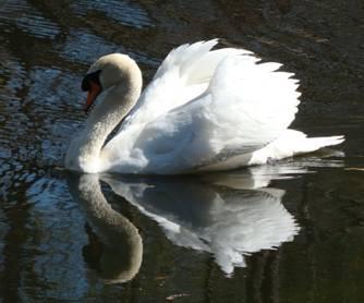 White Swan 002