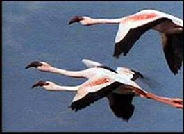 Flamingos flying over Lake Natron