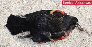 The Red-Shouldered Blackbird Hemorrhaging