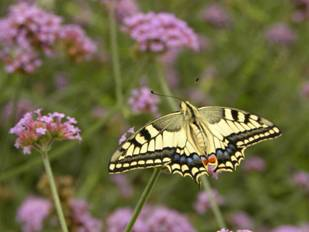 Swallowtail Butterfly in the Land of Israel
