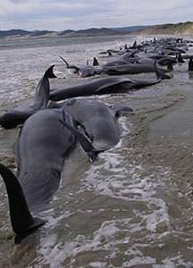 Earthquake Pilot Whales stranded NZ beaches