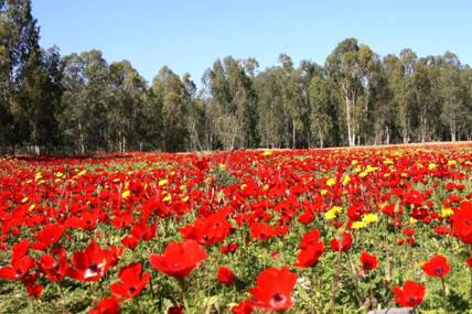 Red Poppies Israel
