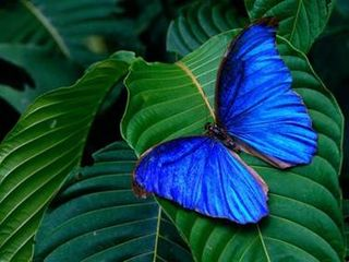 Vermillion Blue of the Butterfly