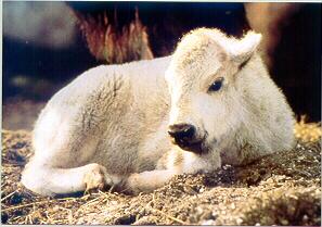 Miracle a Sacred White Buffalo
