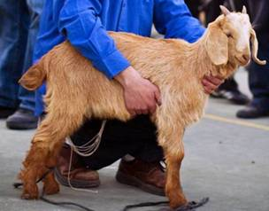 Ritually Pure Sheep or Goat
