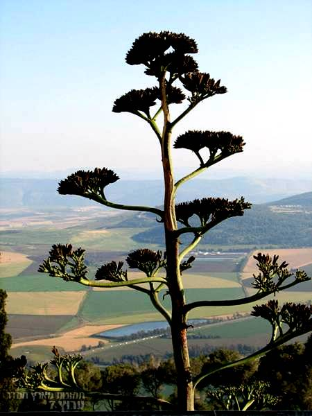 Agave Mount Tabor Jezreel Valley