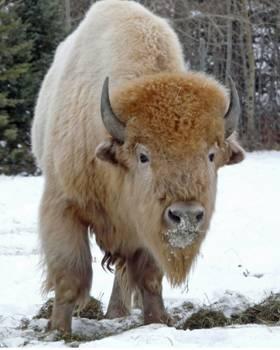 Sacred White Buffalo Bull