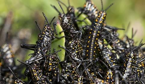 Middle Eastern Locust Plague