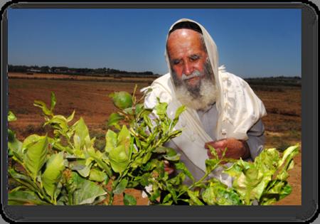 Rabbi inspecting fruit Shmittah Week of Years