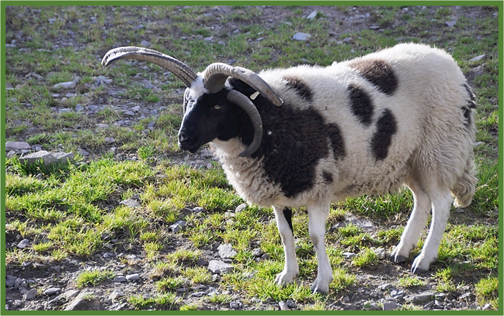 "4 Horned variety of the ""Jacob Speckled and Spotted Sheep"""