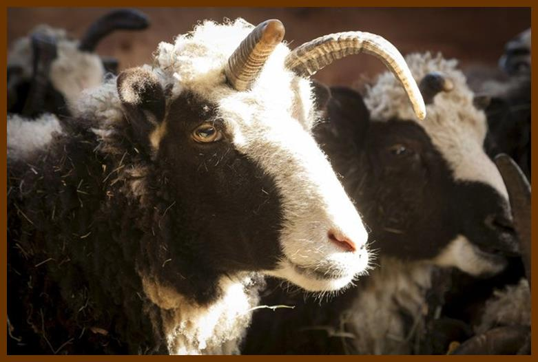 Friends of the Jacob Sheep in Abbotsford, British Columbia