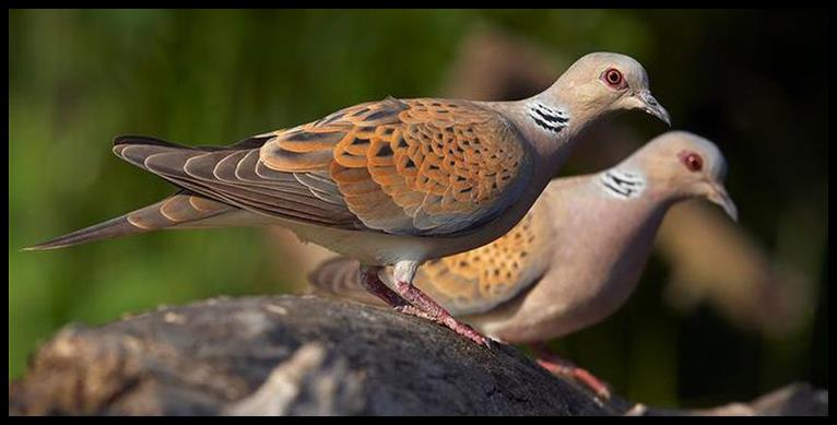 Cooing of the Jewish Turtle Doves