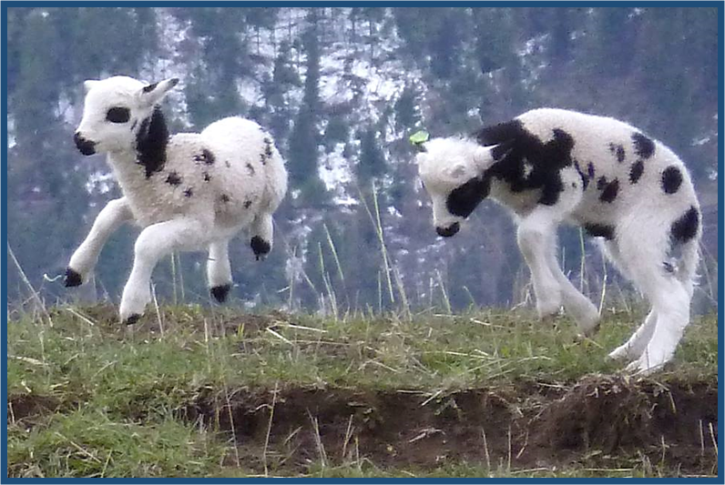 Agility of the Lambs of the Jacob Sheep Strain