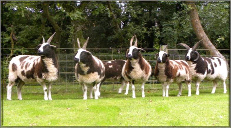 "Hardy, Robust, Healthy Patriarchal ""Jacob Sheep"""