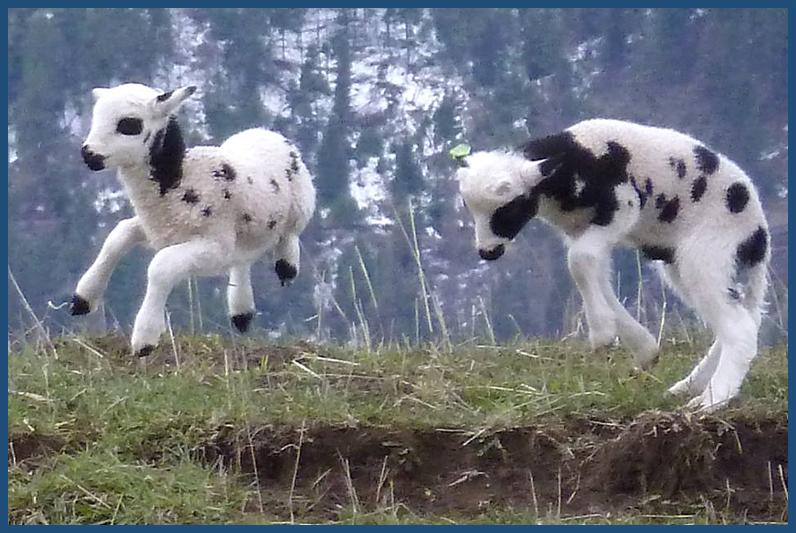 Agility of Lambs of the Jacob Sheep