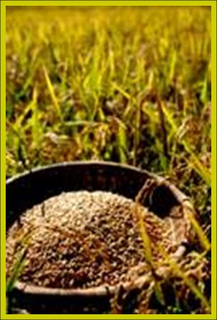 Eden's Native Rice from the Field