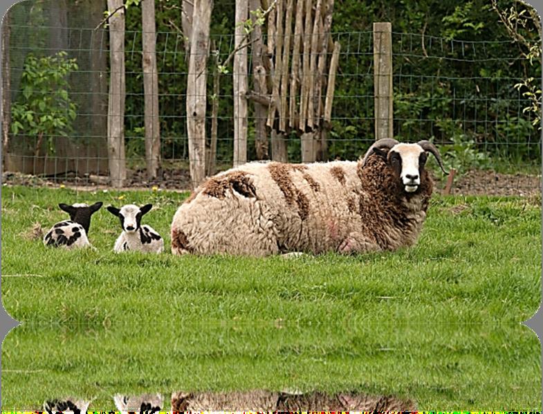 Jacob Sheep of Antiquity