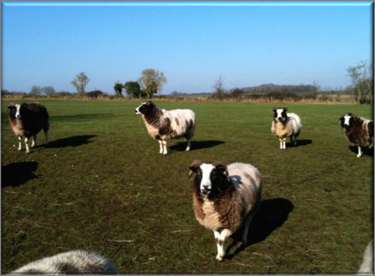 "Patriarchal ""Jacob Sheep"" on a Farm"