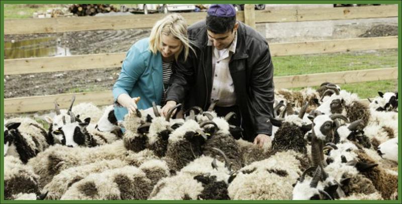 Gil and Jenna Lewinsky feed a flock of Jacob's sheep