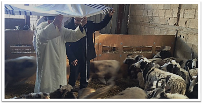 Rav Amram Vakhnin blesses Jacob's Sheep from under a tallit