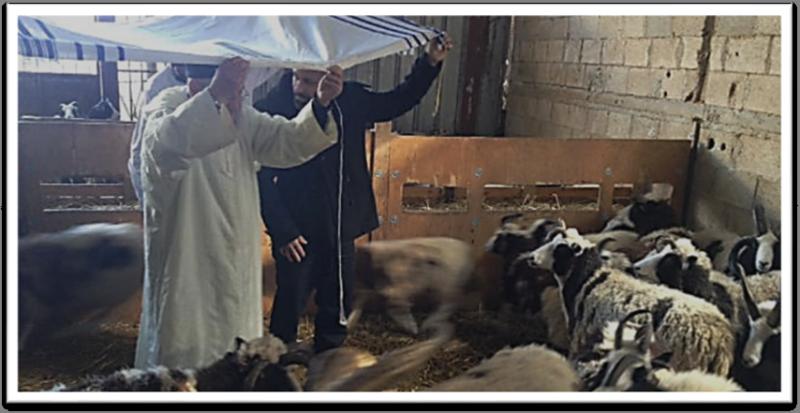 Rav Amram Vakhnin blesses Jacob's Sheep from under a tallit