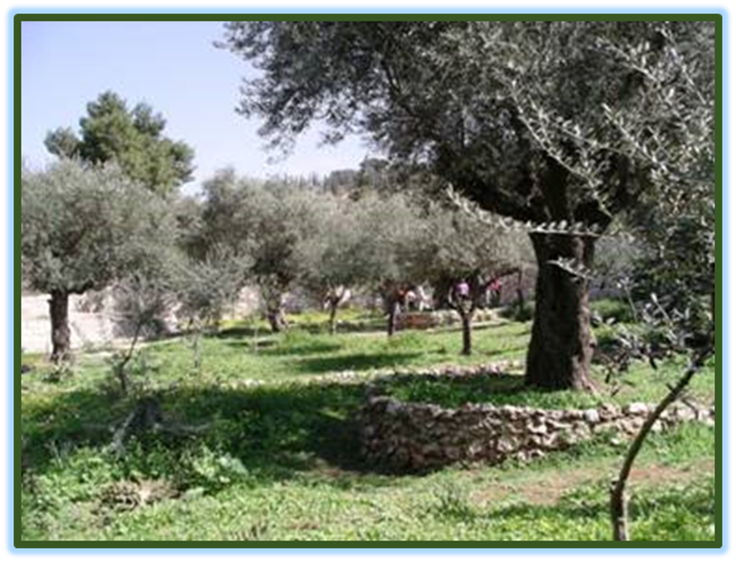 Garden of Gat Shemem where Yehoshua Prayed